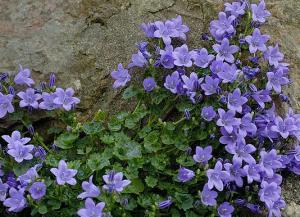 Campanula-weed-identification