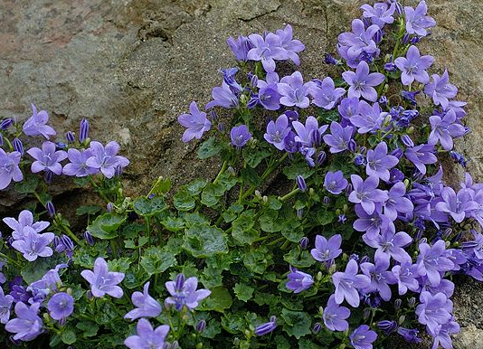 campanula weed identification type perennial - Common Purple Garden Flowers