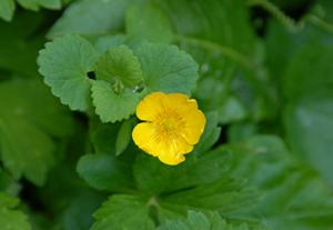 Creeping-Buttercup-weed
