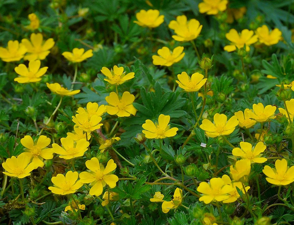 Identifying common garden weeds weedicide creeping cinquefoil mightylinksfo