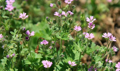 Identifying common garden weeds weedicide doves foot cranesbill mightylinksfo