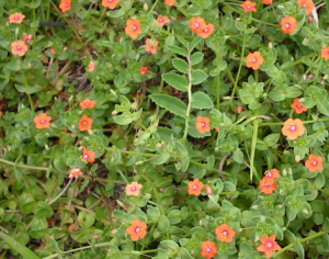 Scarlet-Pimpernel-uk