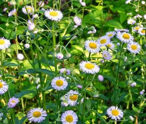 daisy-weed