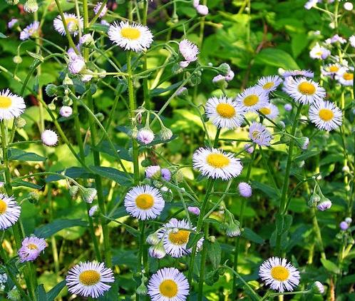 Identifying common garden weeds weedicide the daisy mightylinksfo