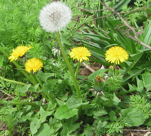 Identifying Common Garden Weeds