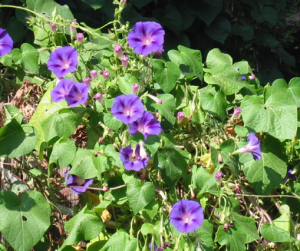 morning-glory-weed-Convolvulaceae