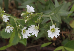mouse-ear-chickweed-identification-uk