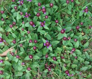 selfheal-weed-garden