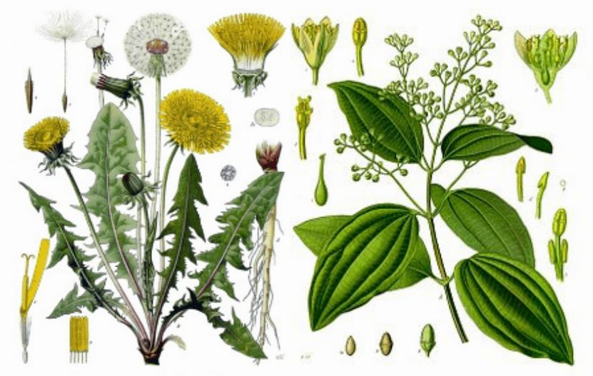 Taraxcum-Officinale-Dandelion