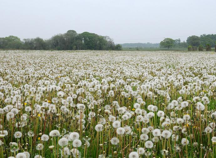 crop-dandelion
