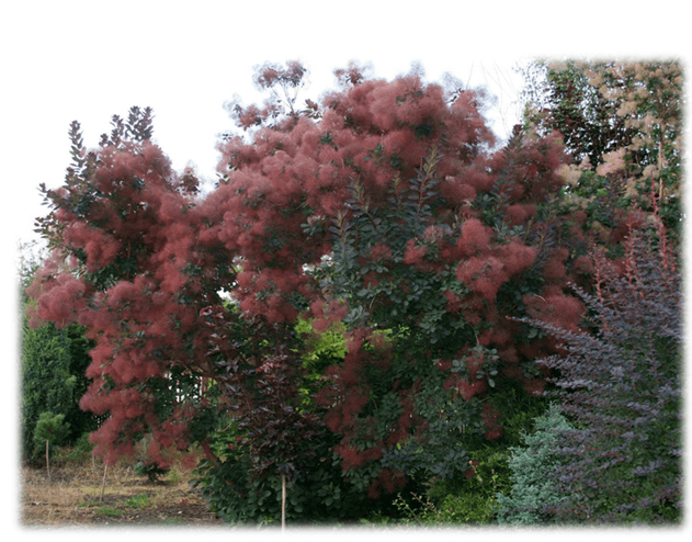 Cotinus Coggygria Purple Smoke Bush All You Need To Know