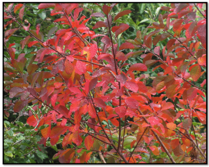 flame-cotinus-min