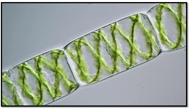 spirogyra-control